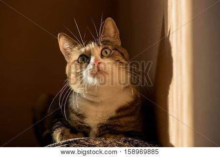 Savannah colored cat with deep yellow green eyes and tassels on the ears looking to top. Sunny hard light shadows