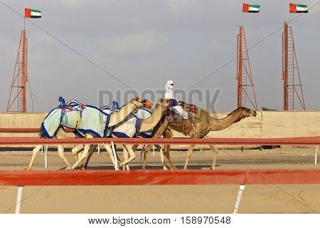 Camel race in the desert in United Arab Emirates