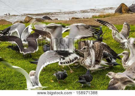 Grounded Gulls depicts the full bellied seabirds resting on the grass after an early meal.