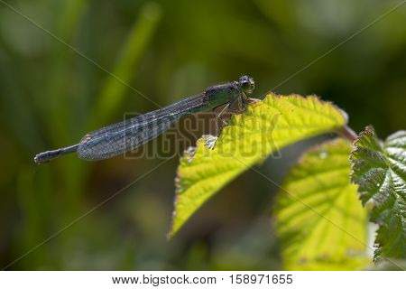 Scarce Blue-tailed Damselfly (Ischnura pumilio) female resting on a Leaf of a Shrub photographed in Backlight