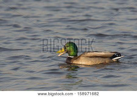 Mallard (Anas platyrynchos) drake swimming in water and quacking