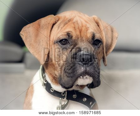 small dog breed boxer puppy sitting in a car boot, waiting patiently, attentively looks aside, close up portrait, on a black puppy neck collar, photo highlights