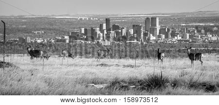 Deer grazing on North Table Mountain near Golden Colorado. The Denver skyline in the background on a gorgeous warm winter's afternoon in February.