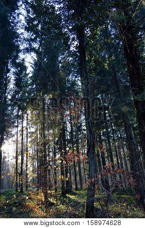 Evening lighting on a coniferous undergrowth in Belgium