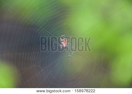 Small Spider In His Web Of Araneus. Lovcen Spider Network
