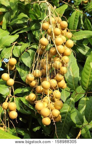 Close-up group of longan berries in the plantation