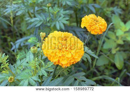 Marigold in garden for background idea flower.