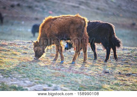 The yak eating grass on the mountain in sunshine day Yak is native animal of tibet china