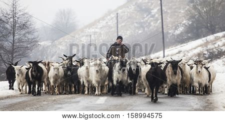 Transylvania, Romania - January 9, 2016: Unidentified shepherd leads his goat and sheep flock in Transylvanian villages