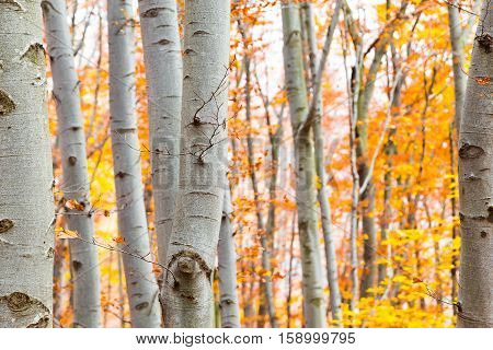 View through tree trunks of a birch forest in autumn or fall with vibrant yellow leaves showing the changing seasons