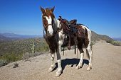 A Pinto Pony by the name of Sugar Toes is all saddled and ready for a ride poster