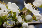 Macro of a wasp collecting pollen from cherry blossom poster