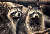 Cute funny raccoons in zoological garden poster