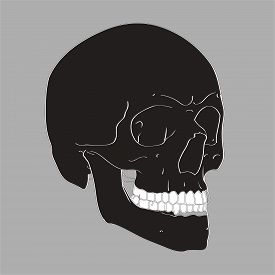 Realistic Hand Drawn Vector Skull on gray background. Human Skull Vector Illustration for medical, Halloween or tattoo design.