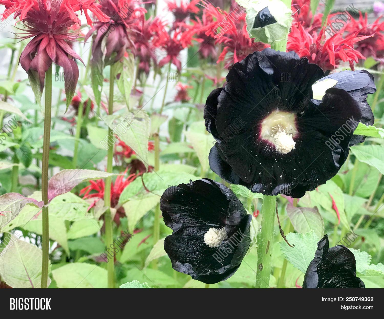 Black Hibiscus Flowers Image Photo Free Trial Bigstock