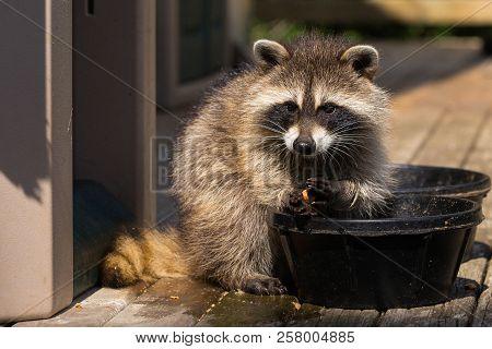 Baby Raccoon Washing Food Before Eating It.