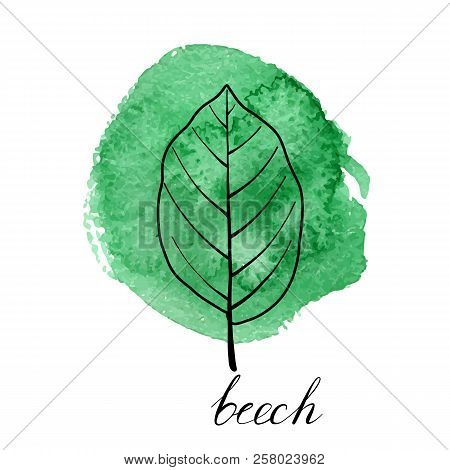 Vector Leaf Of Beech Tree At Green Watrcolor Paint Stains, Hand Drawn Illustration