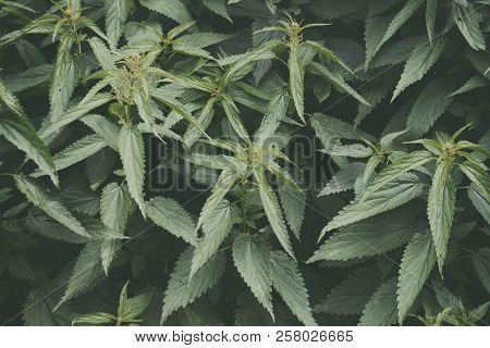 Hemp Leaves. Cannabis. Hemp Background. Natural Background.