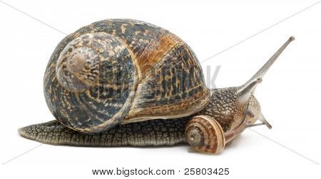 Garden snail with its baby in front of white background