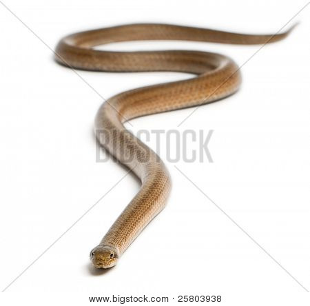 Smooth snake, Coronella austriaca, in front of white background poster