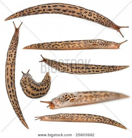 Leopard slug - Limax maximus, in front of white background