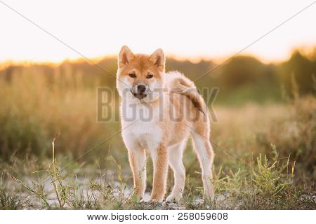 Beautiful Young Red Shiba Inu Puppy Dog Standing Outdoor In Grass During Sunset.
