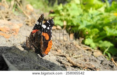 Black And Red Butterfly Vanessa Atalanta (linnaeus) Crouched In The Sunny Glade. Summer August Morni