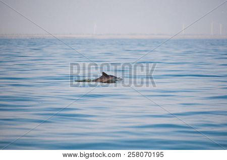 Dolphin, Swimming In The Ocean. Dolphin Swim And Jumping From The Water. The Long-beaked Common Dolp