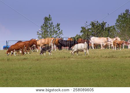 A Herd Of Cows To Feed On A Meadow.white, Brown, Black Cows And Calves On The Meadow Grazing The Gra