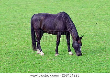 Grazing Black Horse On The Green Field. Black Horse Grazing Tethered In A Field. Horse Eating In The
