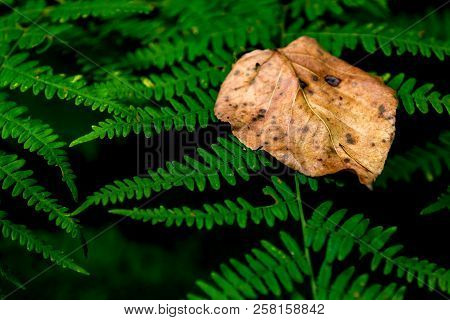 Brown Golden Dead Fallen Autumn Leaf On A Green Fern Background