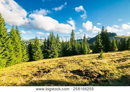 Spruce Forest On The Grassy Hill. Beautiful Landscape In Autumn Afternoon. Location Apuseni Mountain