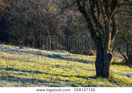Naked Apple Tree In Orchard At Sunrise. Grassy Hill In Morning Rime. Dull And Boring Scene Of Late A
