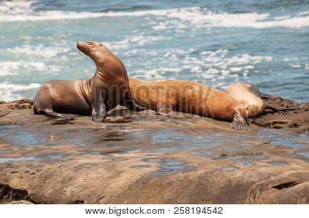 The Jolla Of San Diego. The California Sea Lion (zalophus Californianus).their Color Varies From Bro