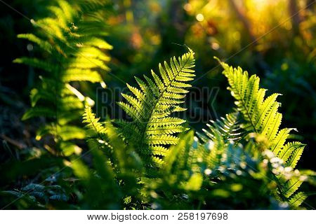 Fern Leaves In Rainforest
