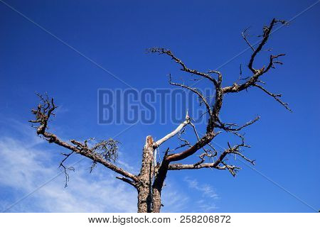 Dead Tall Tree Cape Kolka Latvia. Magic Forest In Latvia.