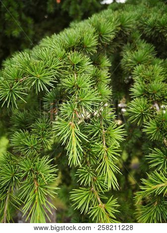 Beauty In Nature Branch Close-up Coniferous Tree Day Focus On Foreground Full Frame