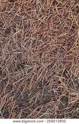 Conifer Needles Fallen On The Ground Background