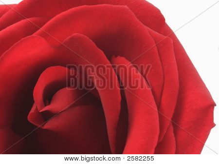 Red Valentine Rose
