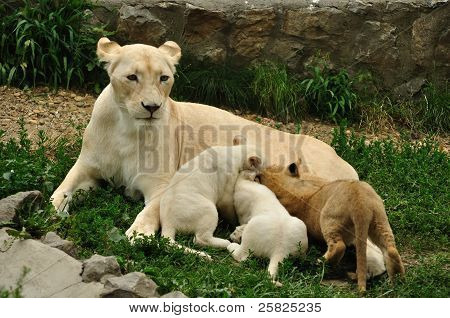Beauty white african lioness nursing her cubs poster