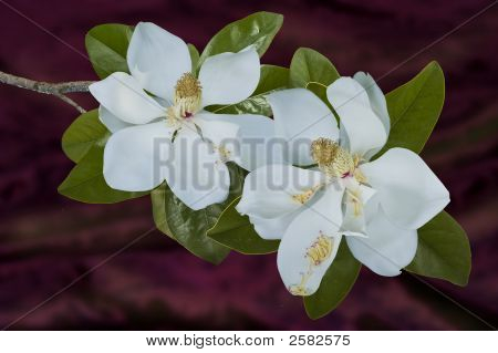 Two Southern Magnolia Blooms On A  Maroon Background