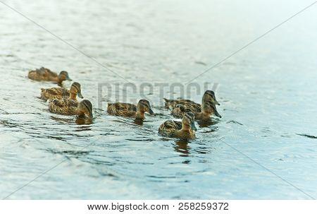 A group of Mallard Ducks on the Lake. Wild birds. Natural landscape with wild  animals