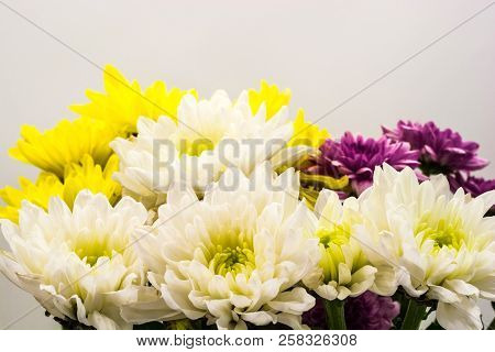 White, Yellow And Purple Chrysanthemums.