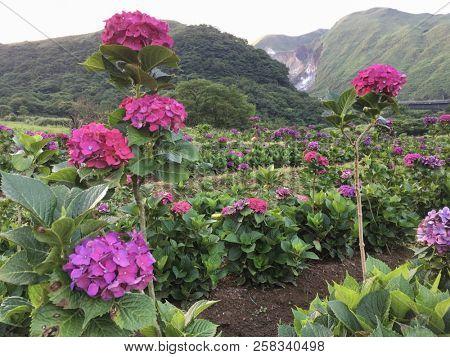 Hydrangea flower outside in a garden