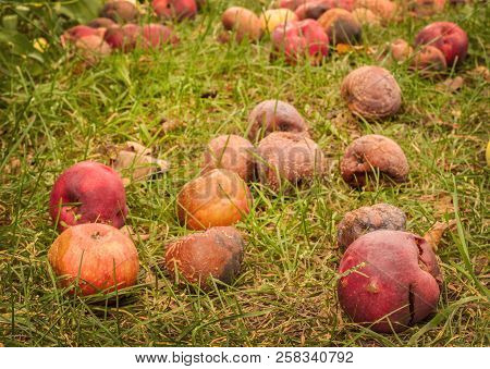 Fallen Apples On The Grass In The Garden In Autumn