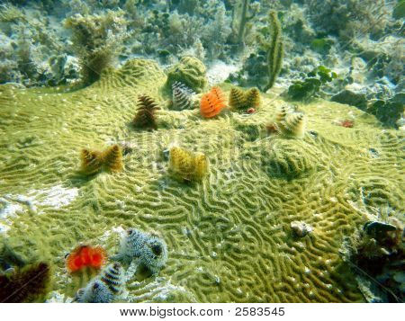 Christmas Tree Worms on Coral in Florida Keys poster
