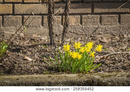 Yellow Daffodils In A Flowerbed Outside A Brickhouse In The Spring
