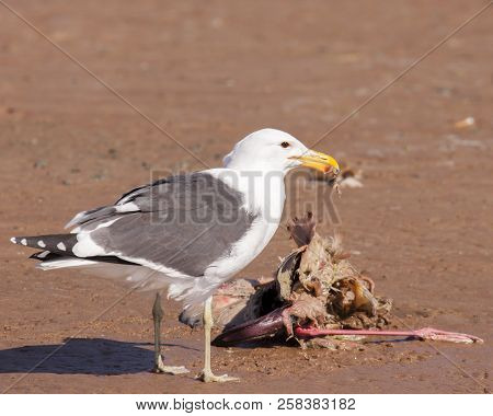 This kelp gull is an opportunistic scavenger and has found a flamingo carcass in Namibia. poster