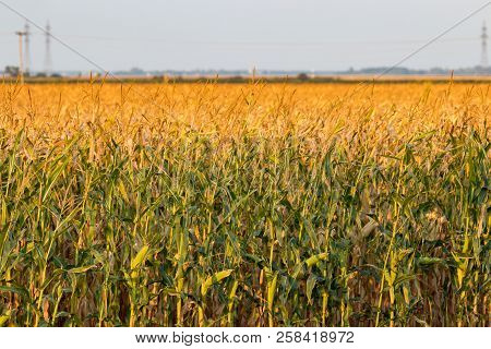 Field Of Corn On The Canadian Prairie