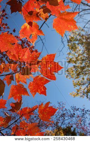 Red Fall Foliage Against Big Blue Sky